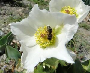 insectes de chez nous dans mouches et autres insectes DSC008702-300x244