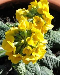 DSC00886-240x300 dans nouvelles fleurs dans mon jardin
