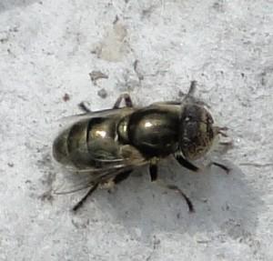 DSC00906-300x287 dans mouches et autres insectes